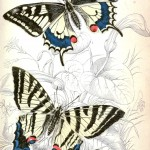 Animal - Insect - Butterfly - British Butterflies -  (19)