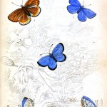Animal - Insect - Butterfly - British Butterflies -  (4)