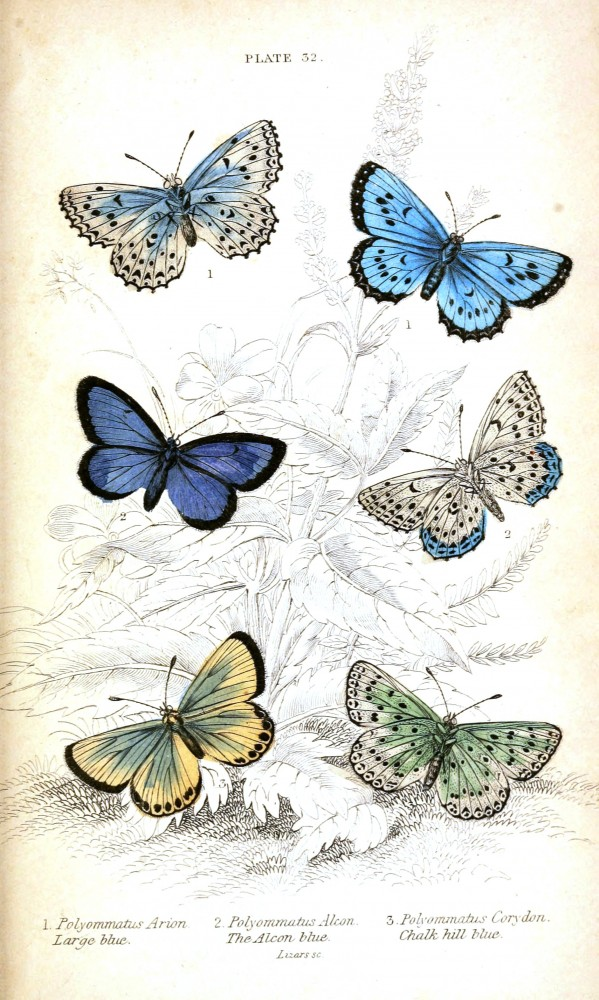 Animal - Insect - Butterfly - British Butterflies -  (5)
