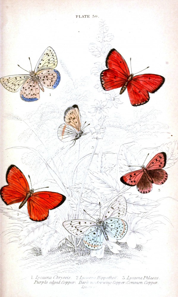 Animal - Insect - Butterfly - British Butterflies -  (7)