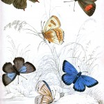 Animal - Insect - Butterfly - British Butterflies -  (9)