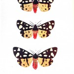 Animal - Insect - Butterfly - British moth 2