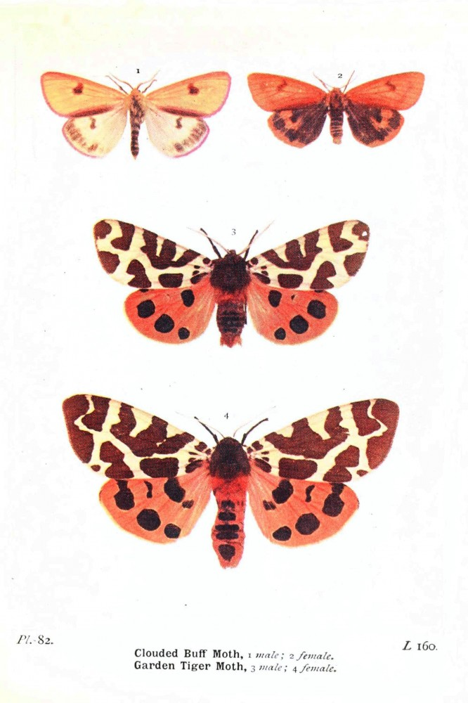 Animal - Insect - Butterfly - British moth 3