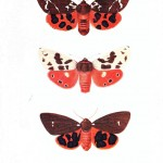 Animal - Insect - Butterfly - British moth 4