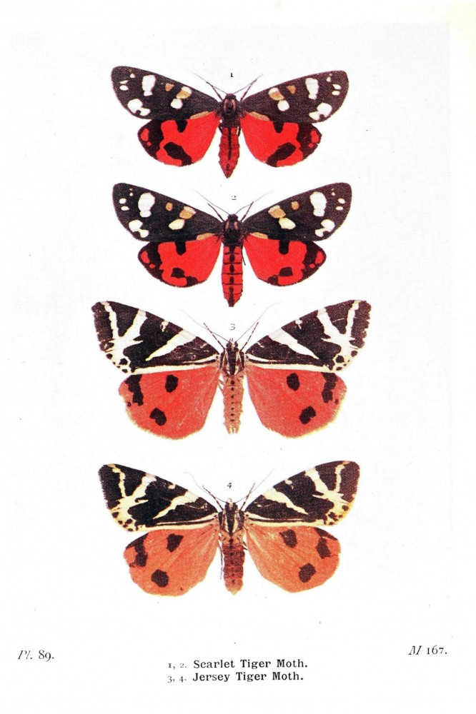 Animal - Insect - Butterfly - British moth