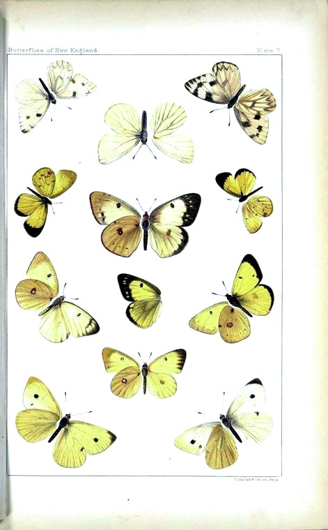 Animal - Insect - Butterfly - Collection - (11)