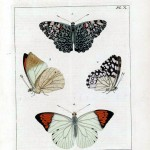 Animal - Insect - Butterfly - Collection - (12)