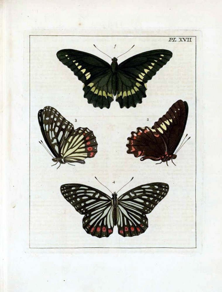Animal - Insect - Butterfly - Collection - (13)