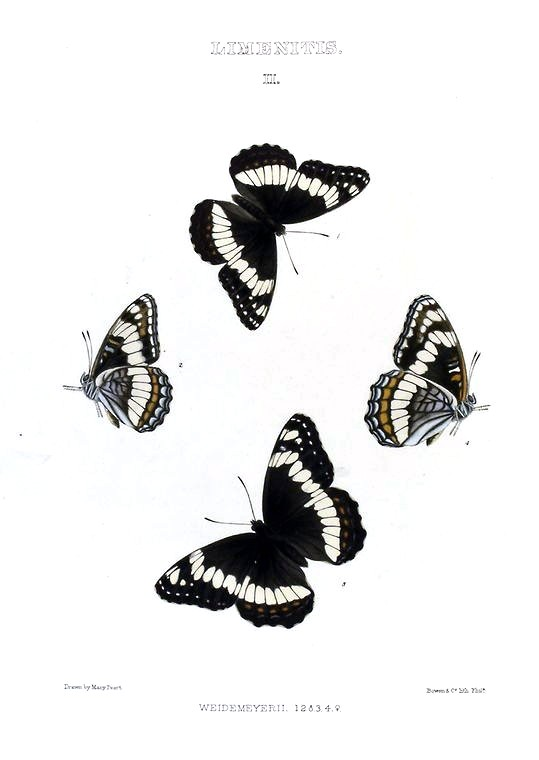 Animal - Insect - Butterfly - Collection - (2)