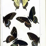 Animal - Insect - Butterfly - Collection - (3)