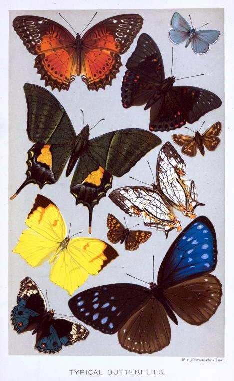 Animal - Insect - Butterfly - Collection - (6)