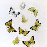 Animal - Insect - Butterfly - Collection - (7)