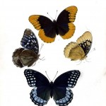 Animal - Insect - Butterfly - Collection - (9)