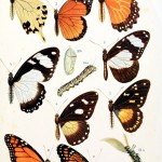 Animal - Insect - Butterfly - Educational plate (1)