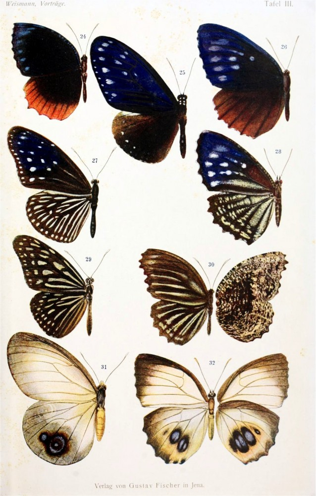 Animal - Insect - Butterfly - Educational plate (2)