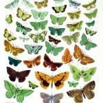 Animal - Insect - Butterfly - Green - Collection -