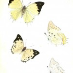 Animal - Insect - Butterfly - Lepidoptera indica 1898  (1)