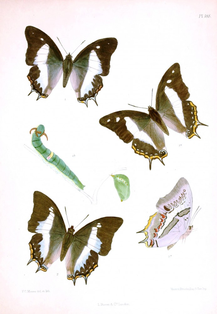 Animal - Insect - Butterfly - Lepidoptera indica 1898  (2)