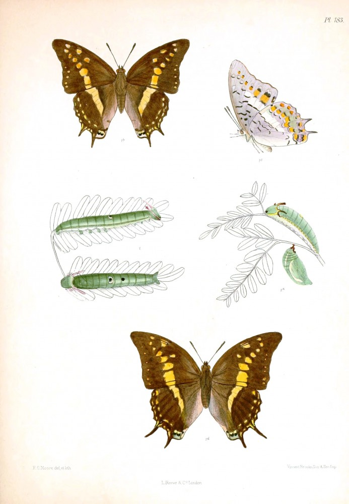Animal - Insect - Butterfly - Lepidoptera indica 1898  (4)