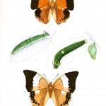 Animal - Insect - Butterfly - Lepidoptera indica 1898  (6)