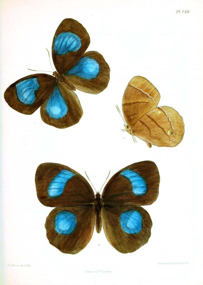 Animal - Insect - Butterfly - Lepidoptera indica 1898  (7)