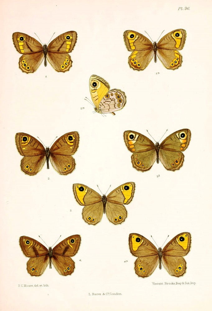 Animal - Insect - Butterfly - Lepidoptera indica 1898  (8)