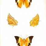 Animal - Insect - Butterfly - Lepidoptera indica 1898  (9)