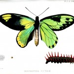 Animal - Insect - Butterfly - London Zoologic Society 1888