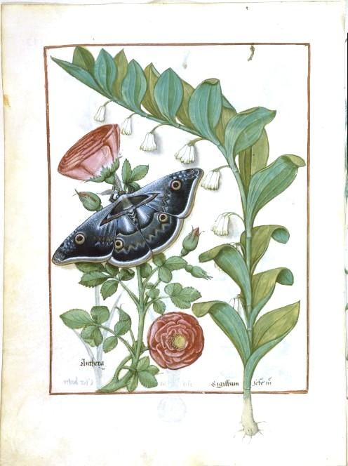 Animal - Insect - Butterfly - Medieval Herbal