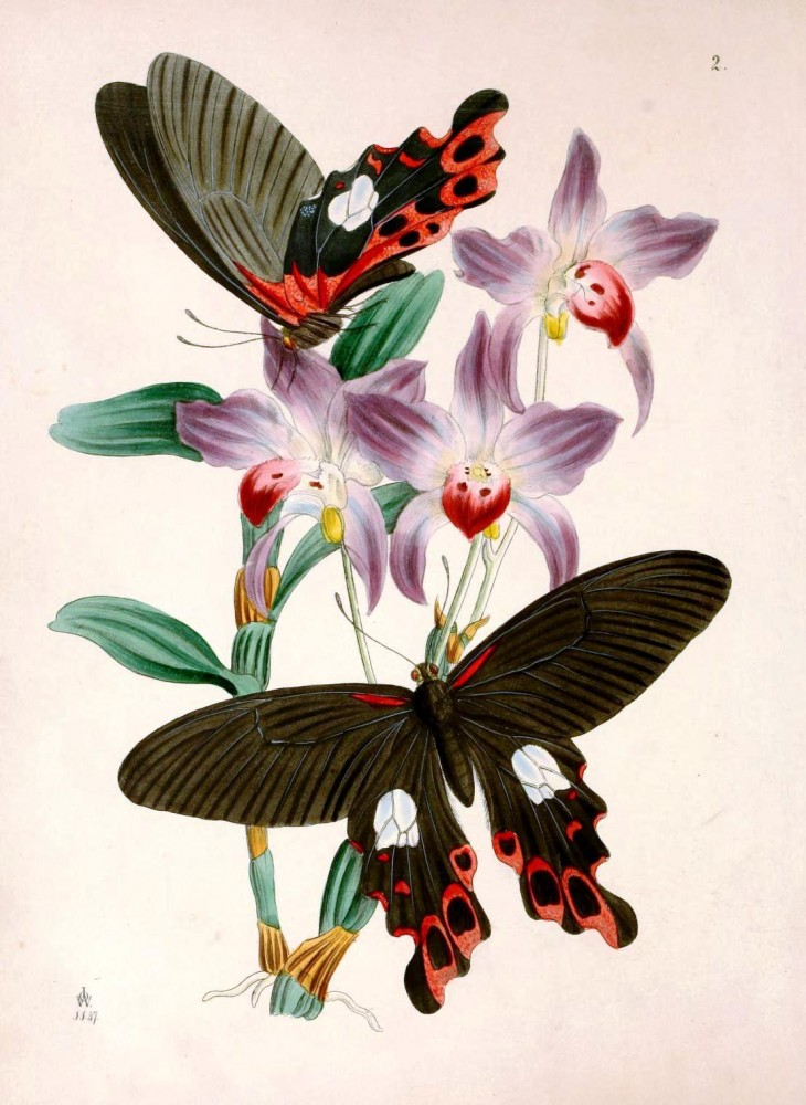 Animal - Insect - Butterfly - Rare Book - Oriental Entymology -  (13)