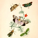 Animal - Insect - Butterfly - Rare Book - Oriental Entymology -  (14)