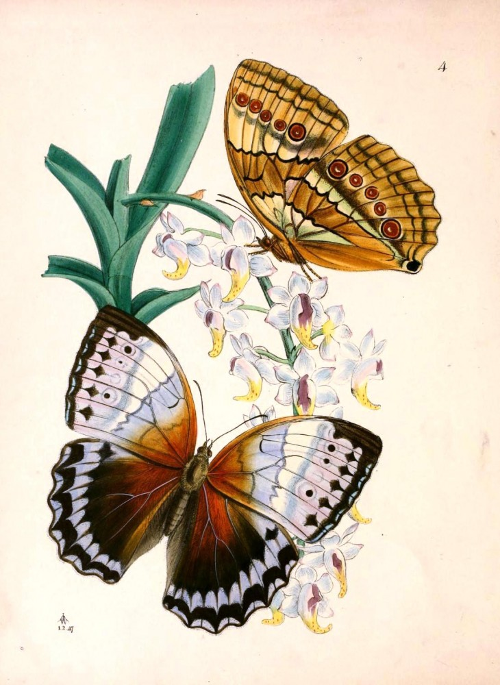 Animal - Insect - Butterfly - Rare Book - Oriental Entymology -  (15)