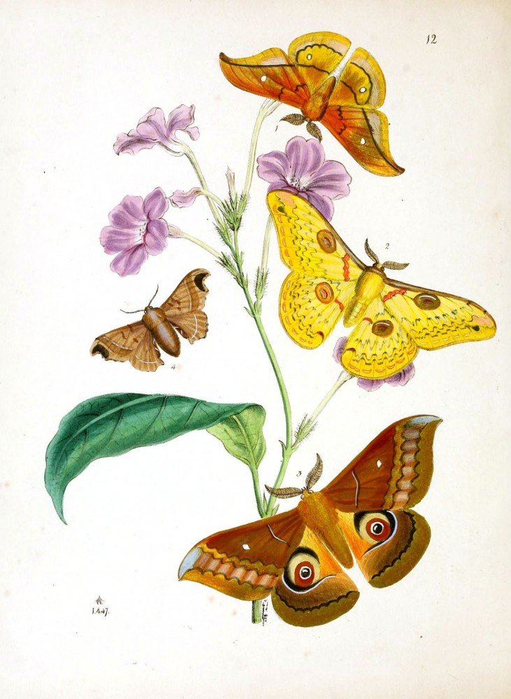 Animal - Insect - Butterfly - Rare Book - Oriental Entymology -  (4)