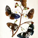 Animal - Insect - Butterfly - Rare Book - Oriental Entymology -  (5)