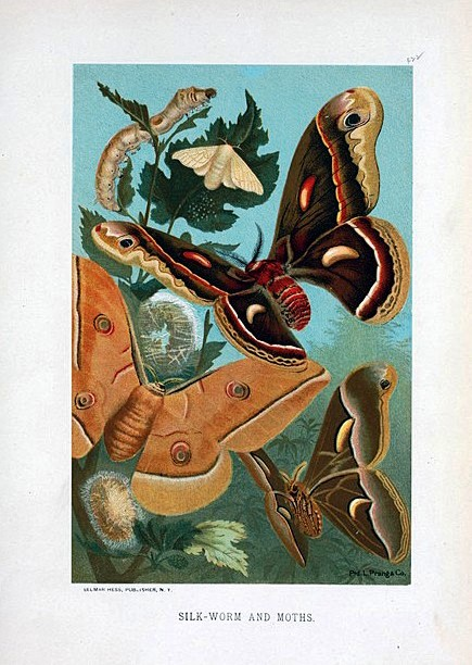 Animal - Insect - Butterfly - Silkworm with moths
