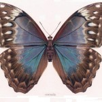 Animal - Insect - Butterfly - Specimen01 (10)