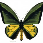 Animal - Insect - Butterfly - Specimen01 (2)