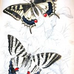 Animal - Insect - Butterfly - Specimen01 (3)