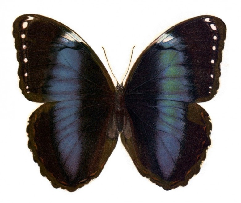 Animal - Insect - Butterfly - Specimen01 (9)