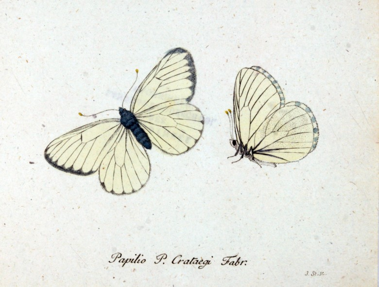 Animal - Insect - Butterfly - White