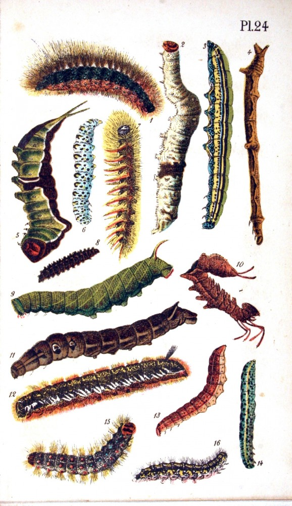 Animal - Insect - Caterpillars - Educational plate
