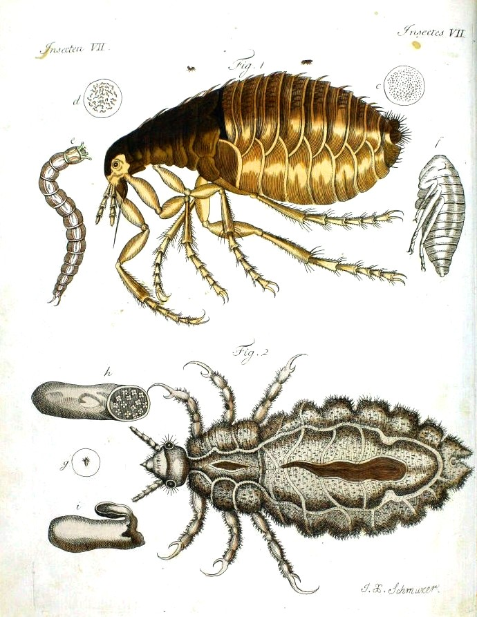 Animal -  Insect - Educational Plate - Flea