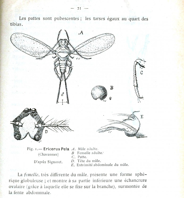 Animal - Insect - Male insect illustration