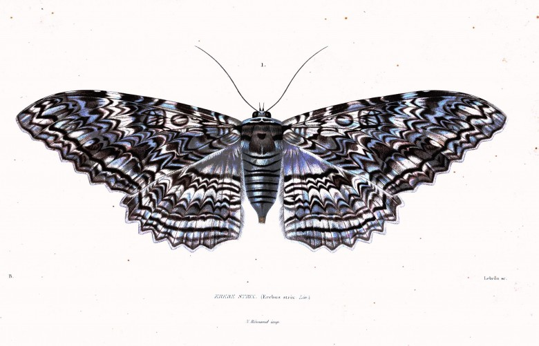 Animal - Insect - Tree moth