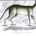 Animal - Jardine - Egyptian Cat