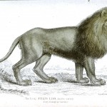 Animal - Jardine - Lion - Face