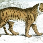 Animal - Jardine - Tiger