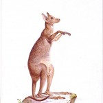 Animal - Kangaroo - Australia (2)