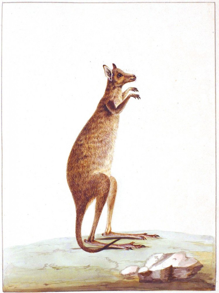 Animal - Kangaroo - Australia