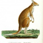 Animal - Kangaroo - Australia - Buffon